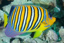 BD-121128-Aqaba-7570-Pygoplites-diacanthus-(Boddaert.-1772)-[Regal-angelfish.-Påfågelkejsarfisk].jpg